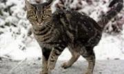 سيدة اردنية تعرض مكافأة 150 دينار لمن يعثر على قطتها